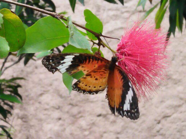 kupu kupu di Enthopia